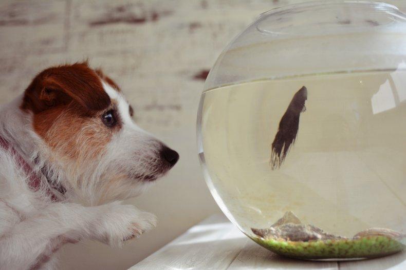 Dog staring at fish