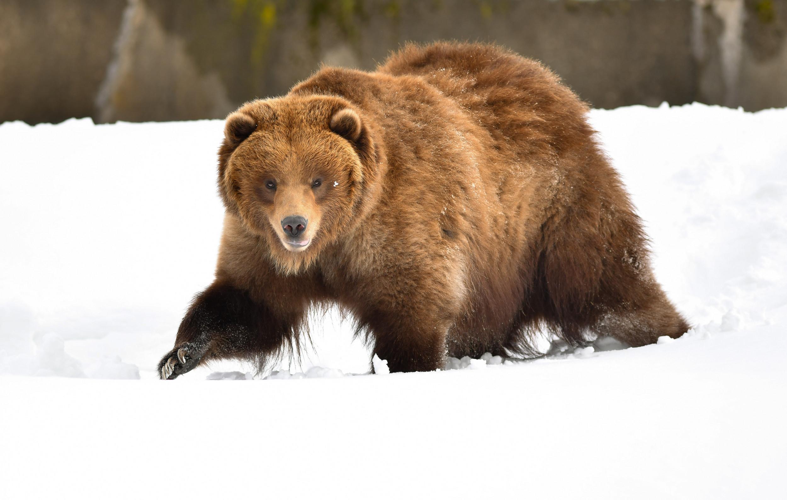 Camper Fined $6,000 for Improper Food Storage After Bear Is Tranquilized