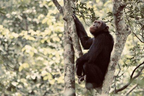 CUL_Map_Thrills Chimpanzees