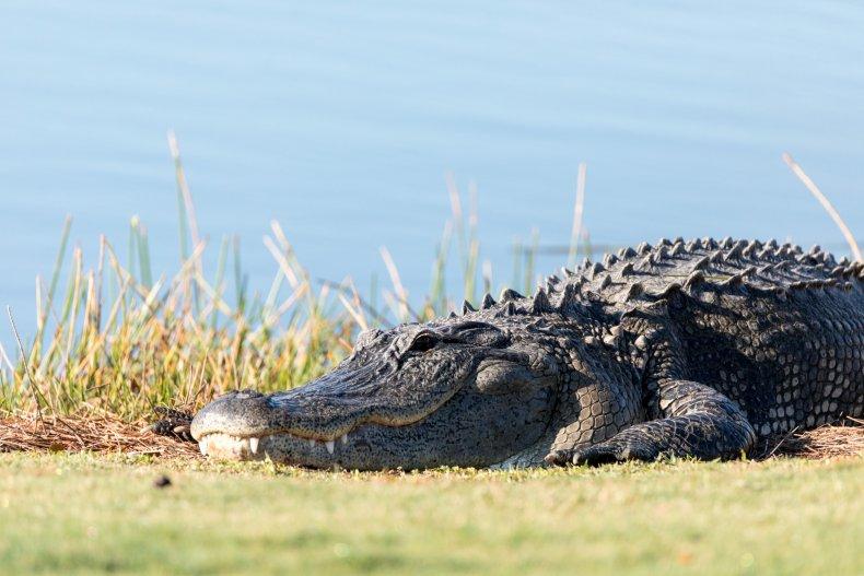 Alligator roaming around neighborhood