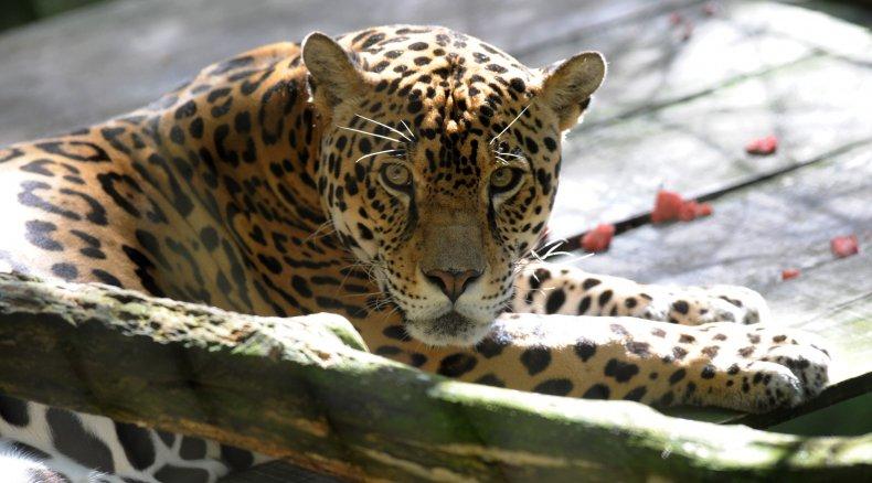 Jaguar Attack Florida Man Zoo Big Cats