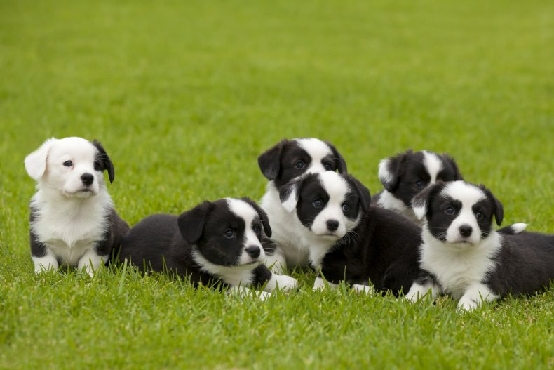 Puppies on a lawn