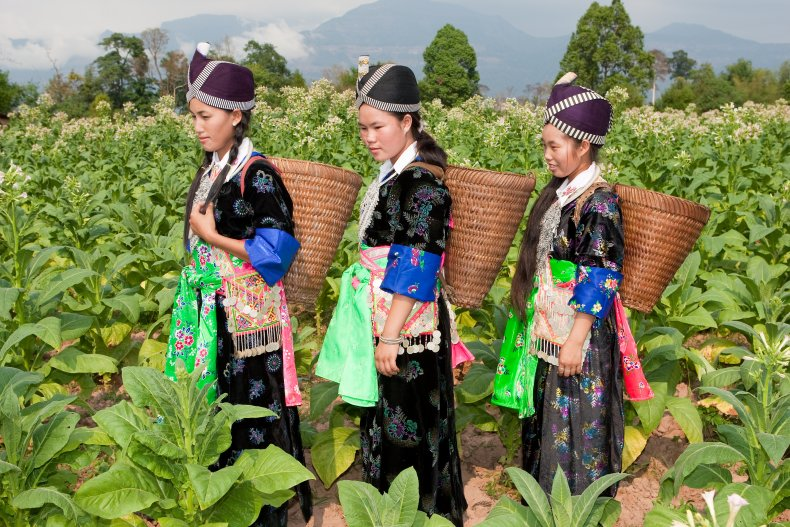 Hmong women harvesting tobacco in Asia.