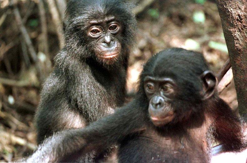 baby chimps