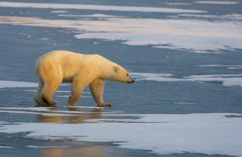 A polar bear walks on frozen tundra.