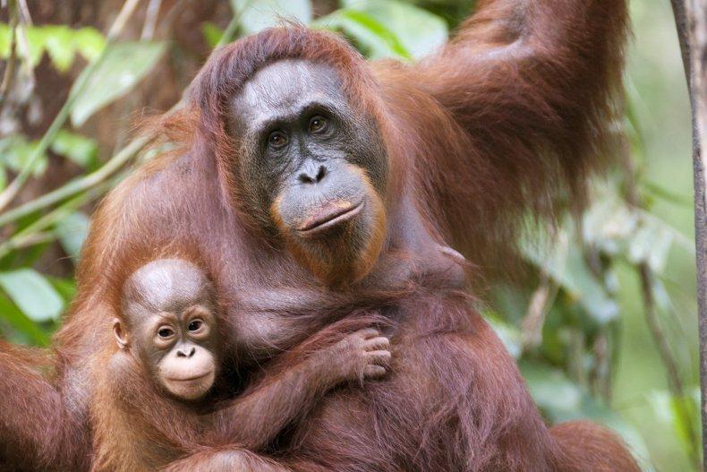 An orangutan and her son.