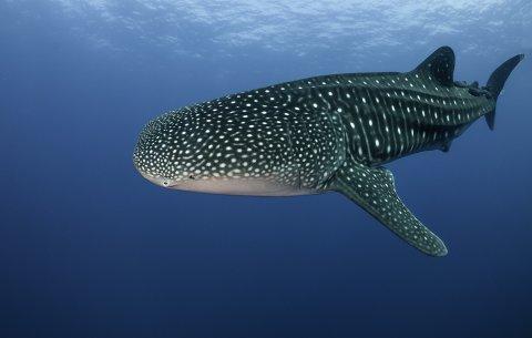 CUL_Map_Citizen Science_Whale Shark