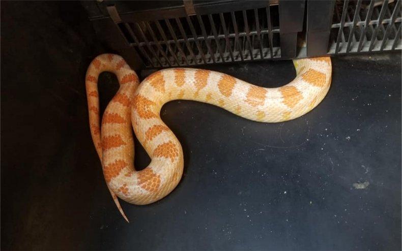 A corn snake on a bus.