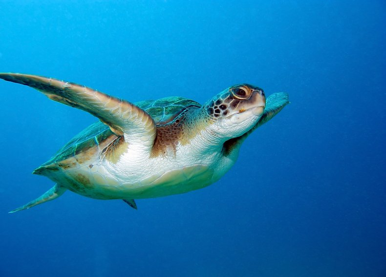 sea turtle, threatened, loggerhead, getty, stock