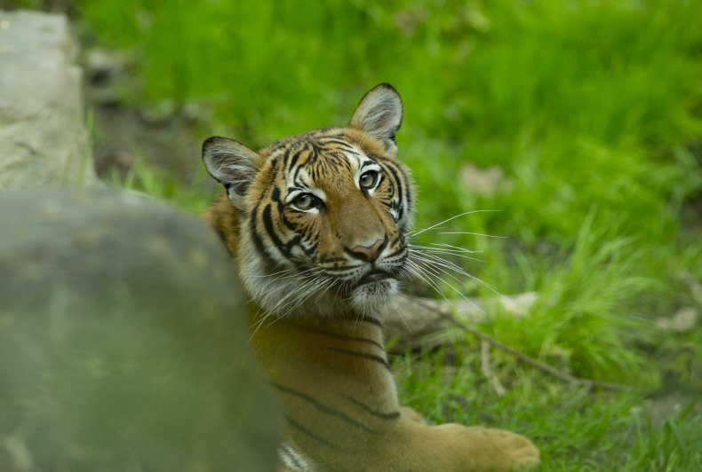 Bronx Zoo tigers COVID-19