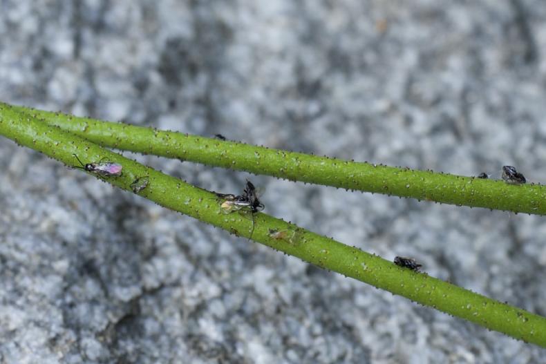 Carnivorous Plant Stem