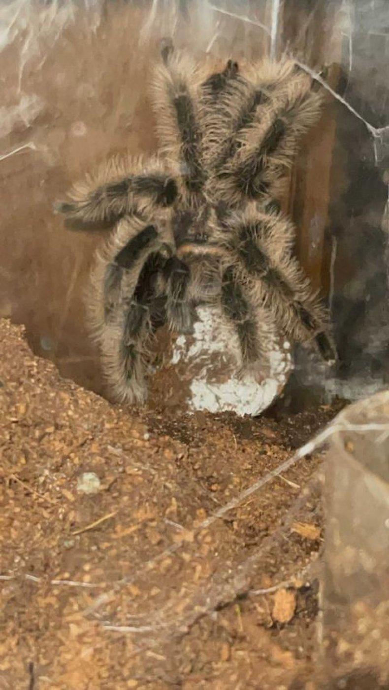 Photo of the tarantula Bedelia.