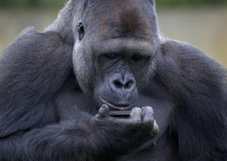 Gorilla looking at phone