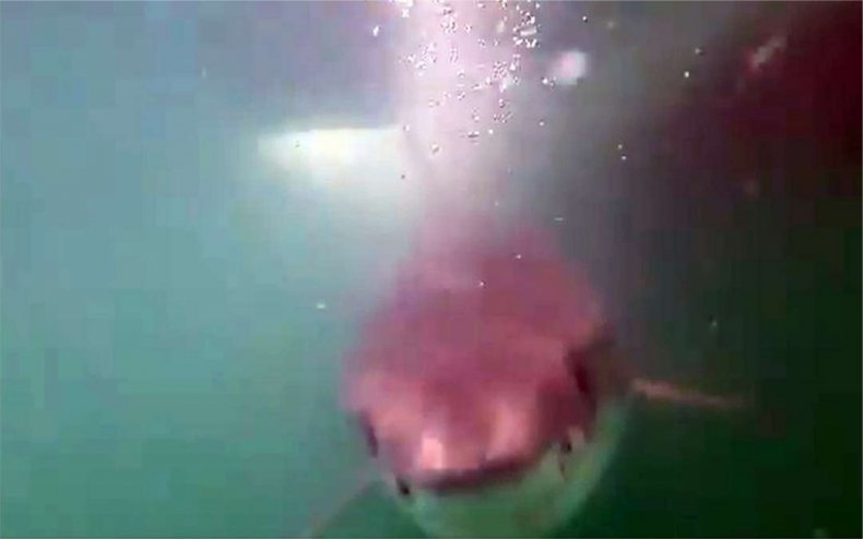 Video footage of a white shark.