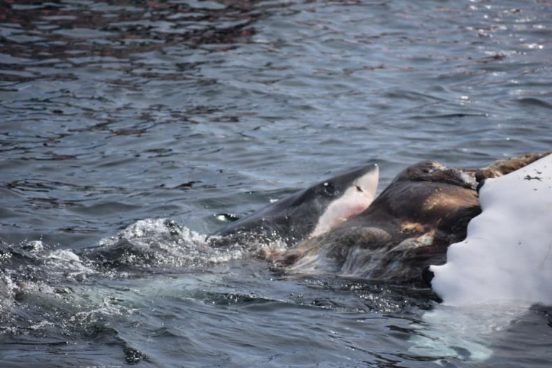 Great white shark feeding off humpback whale