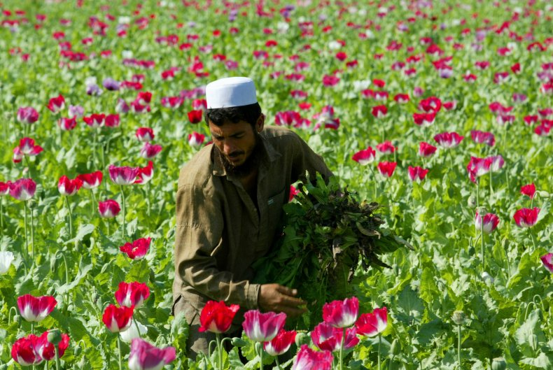 Afghan Poppy Cultivation