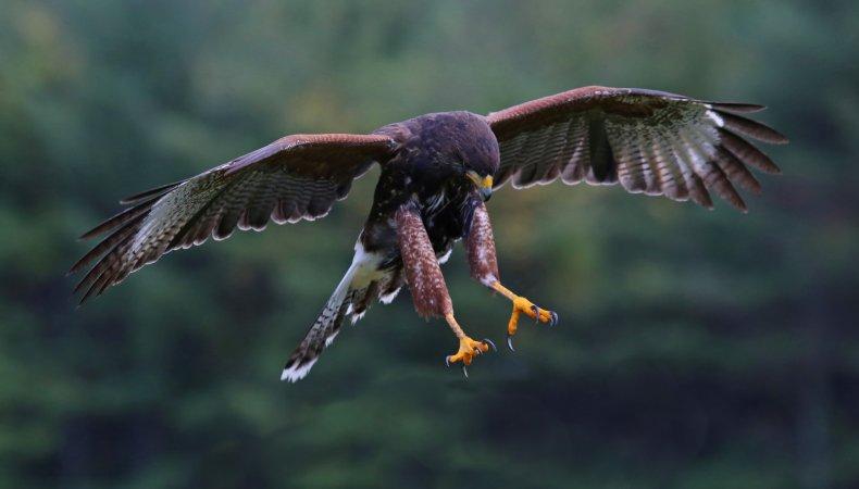 File photo of a Harris hawk.