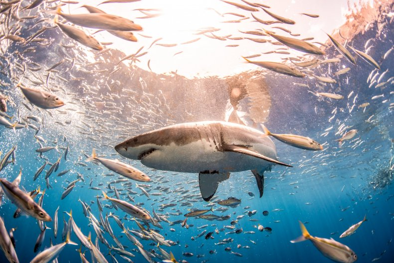A great white shark in Guadalupe Island.