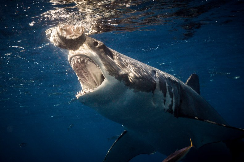 The mouth of a great white shark.