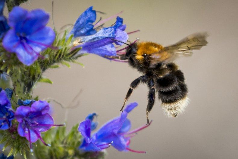 Bumblebee Flower