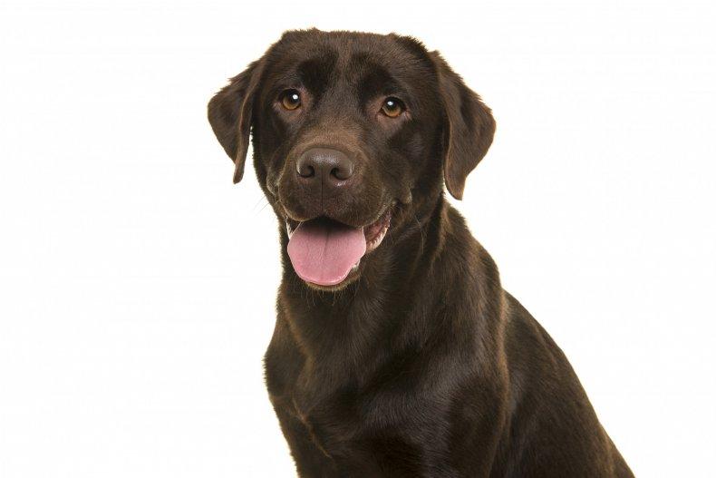 A chocolate Labrador
