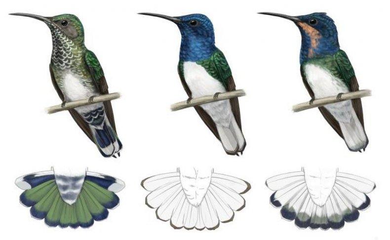 Hummingbird imitation