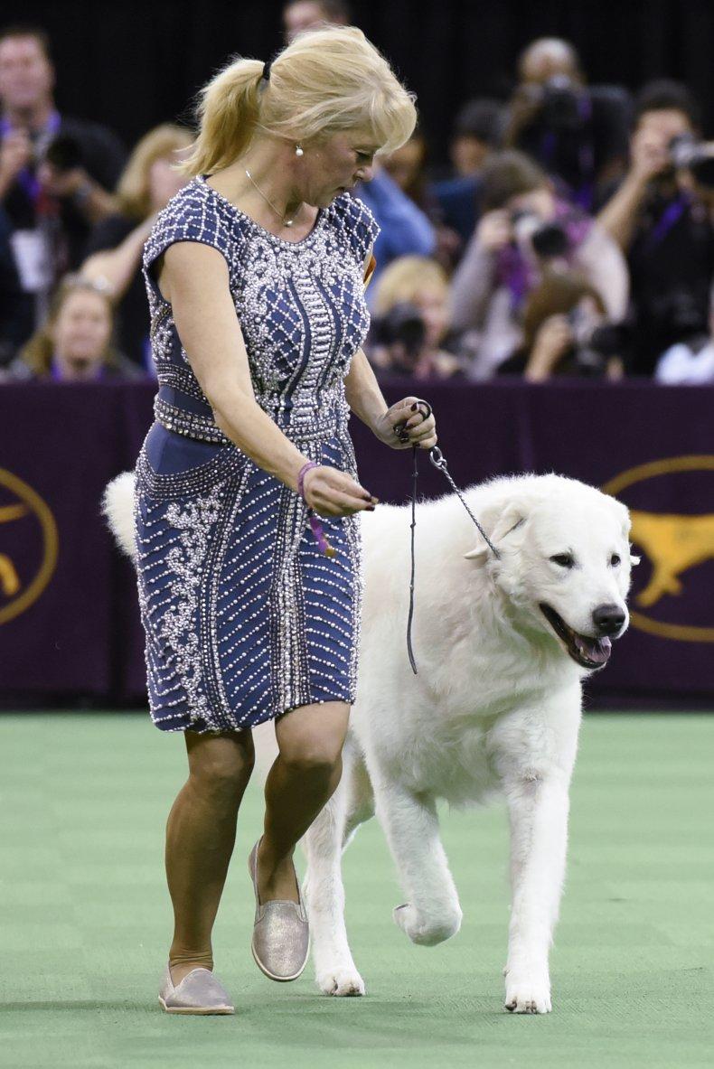 A Kuvasz Dog