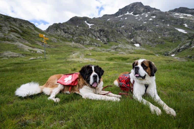 Two Saint Bernard Dogs