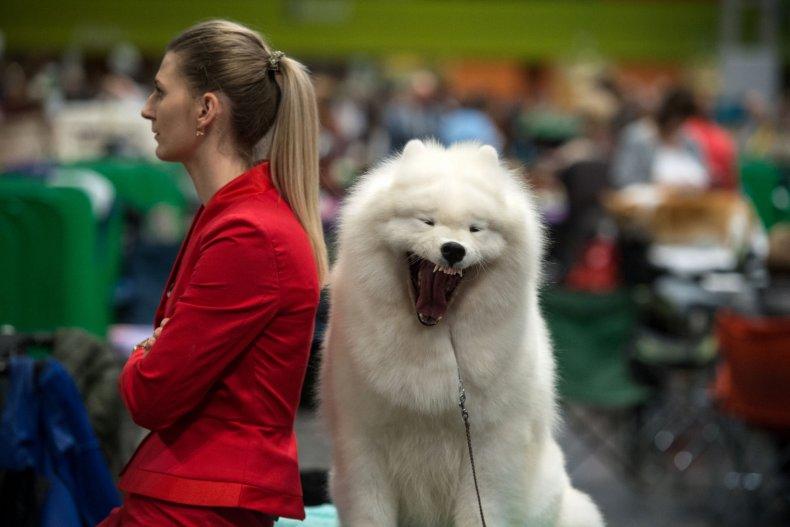 A Samoyed Dog