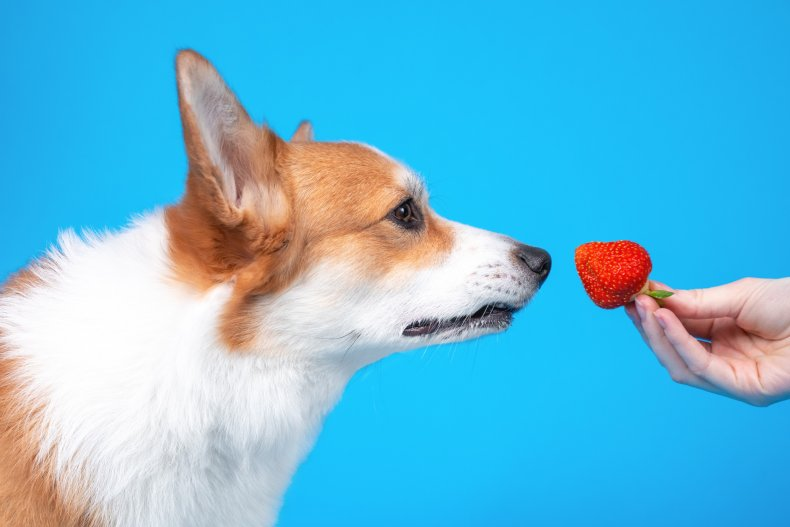 A dog sniffing a strawberry.