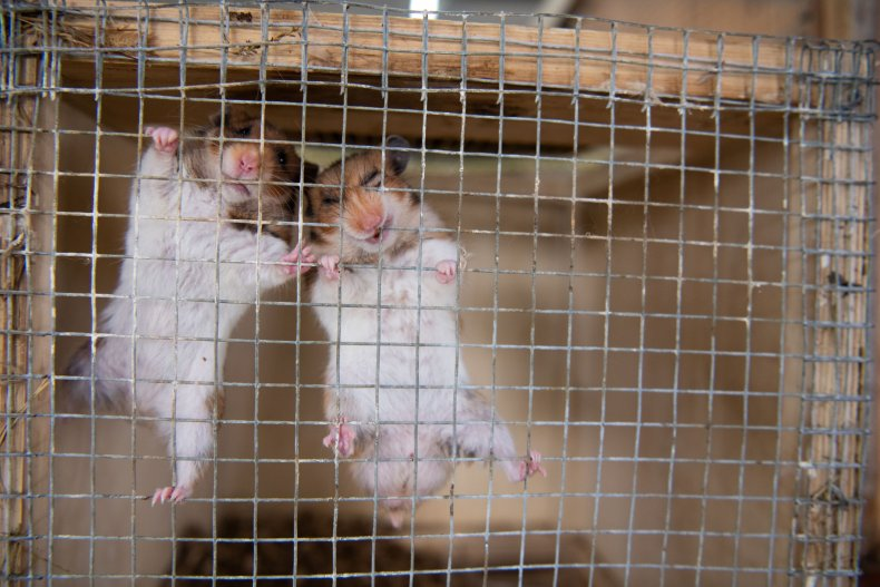 Hamster gnaw on metal cage