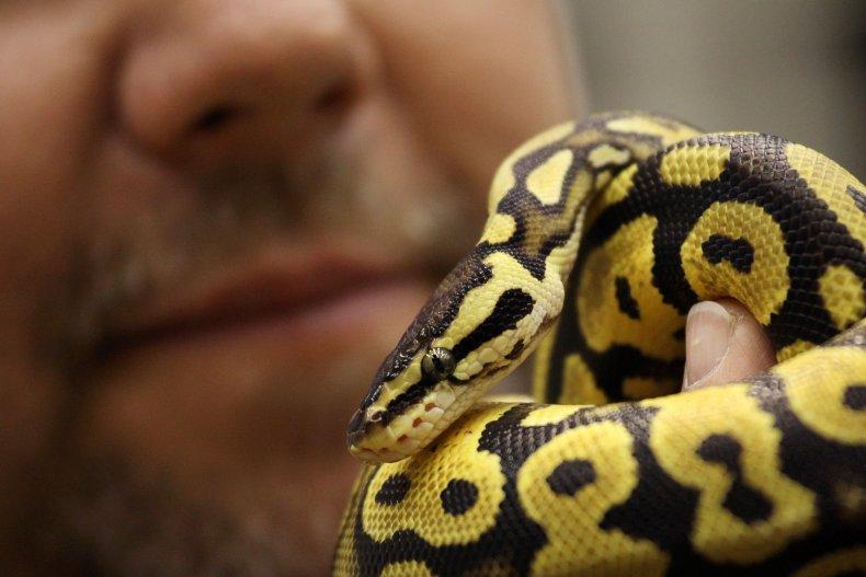 A Man Holds a Ball Python