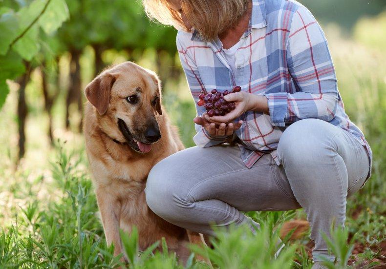 A dog looking at grapes.