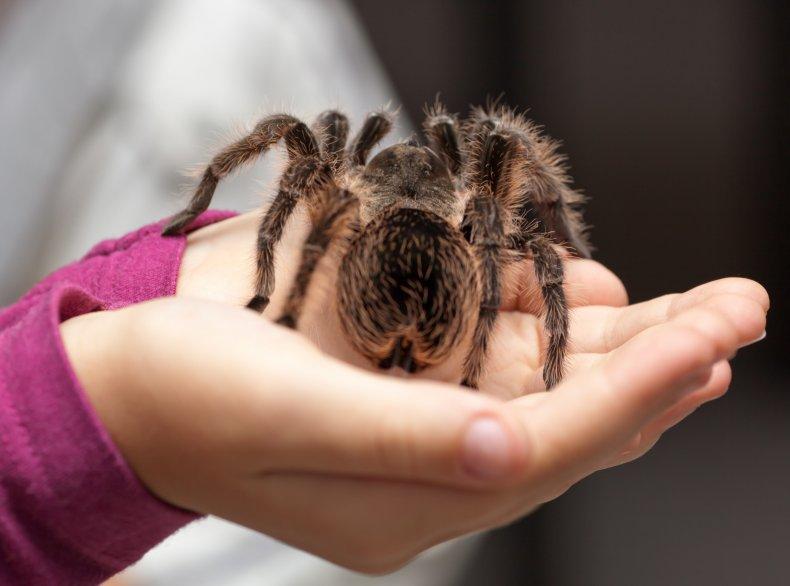 File photo of a tarantula.