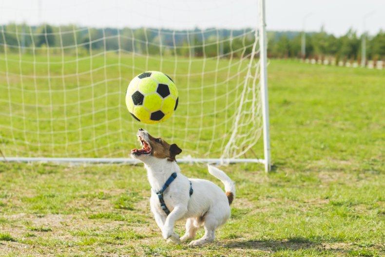 A dog heading a soccer ball.