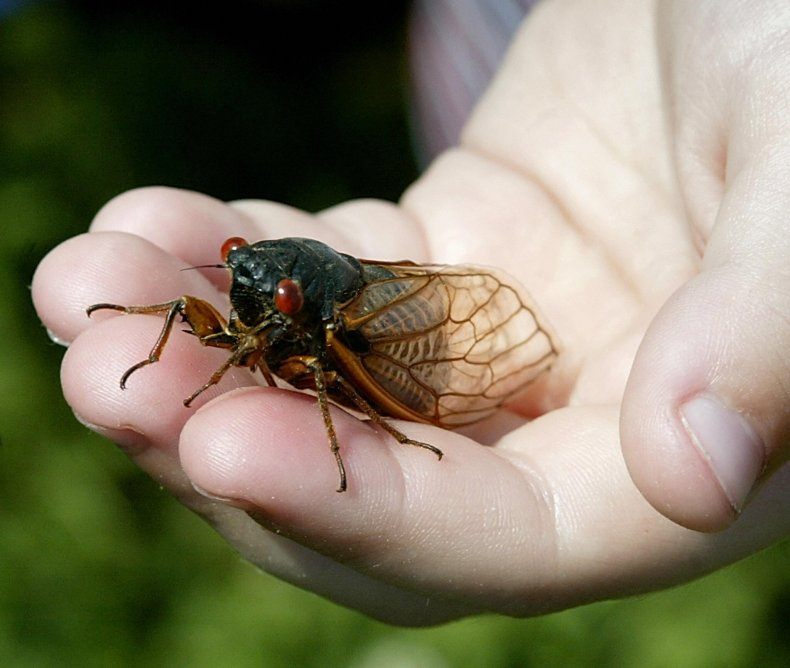 Cicada in a child's hand