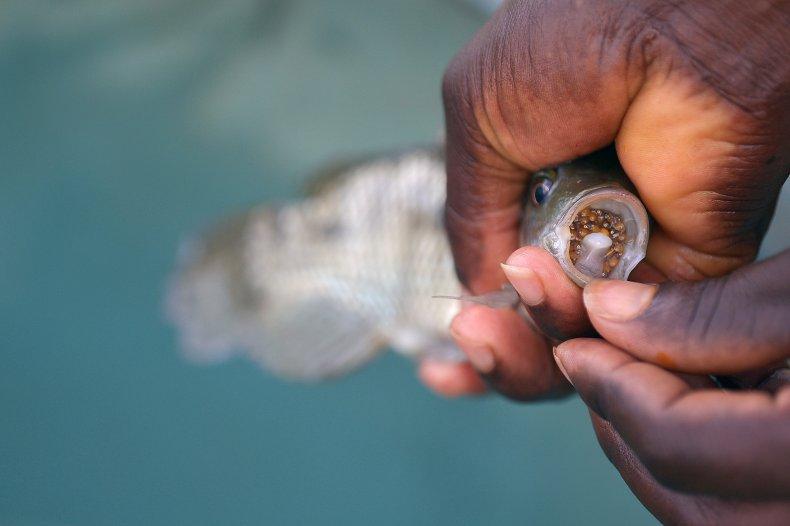 Mouthbrooding Fish