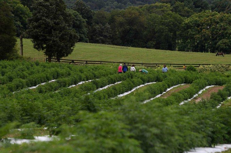 Virginia hemp farm