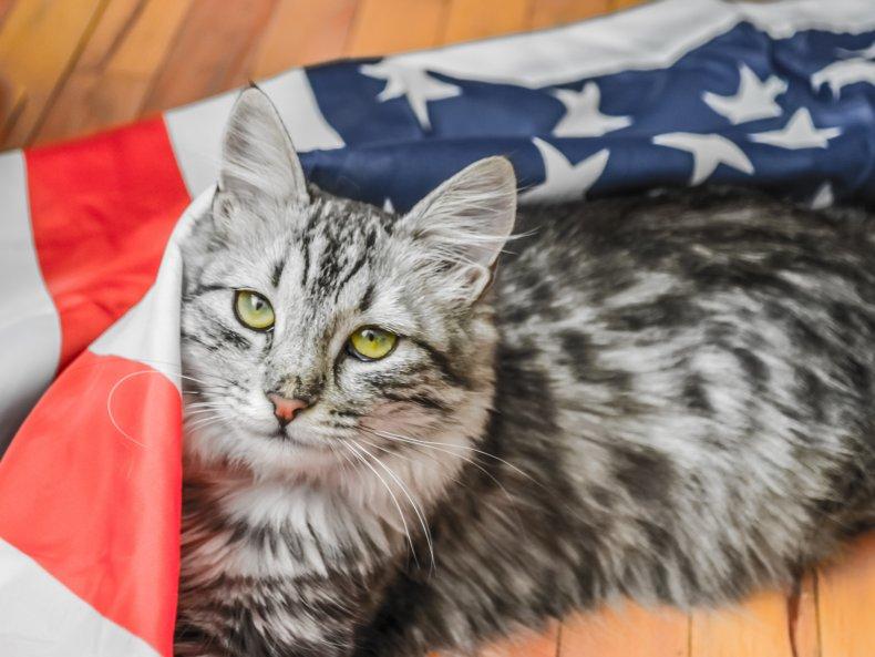 Cat draped in American flag