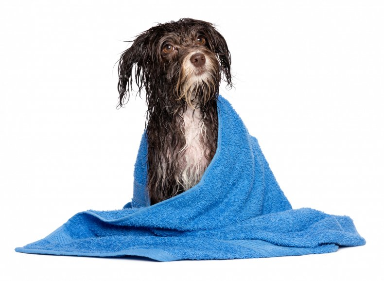 Wet dog wrapped in towel