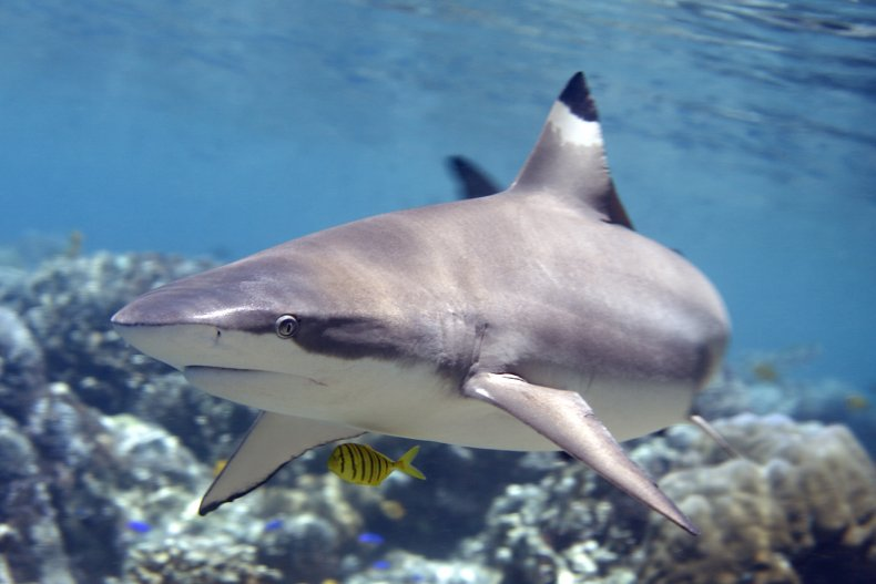 A blacktip shark swimming in the sea