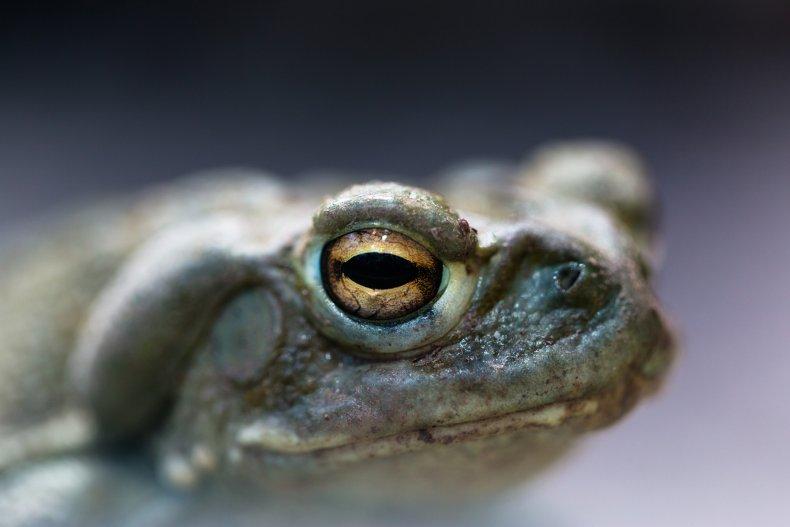 Colorado River Toad Venom for Depression Treatment