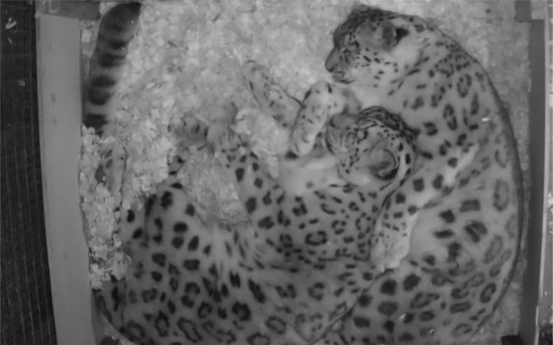 Two snow leopards cuddled together.