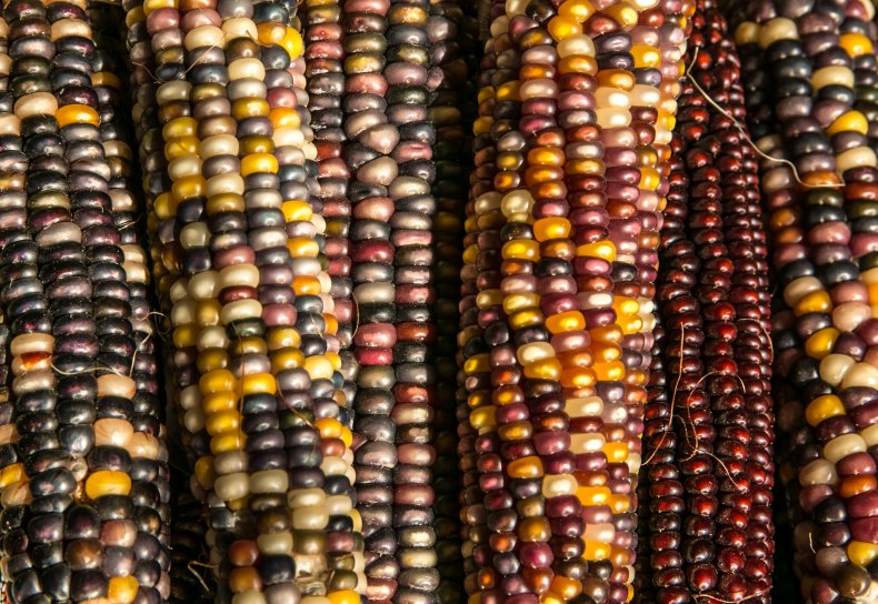 colorful maize (corn) is viewed