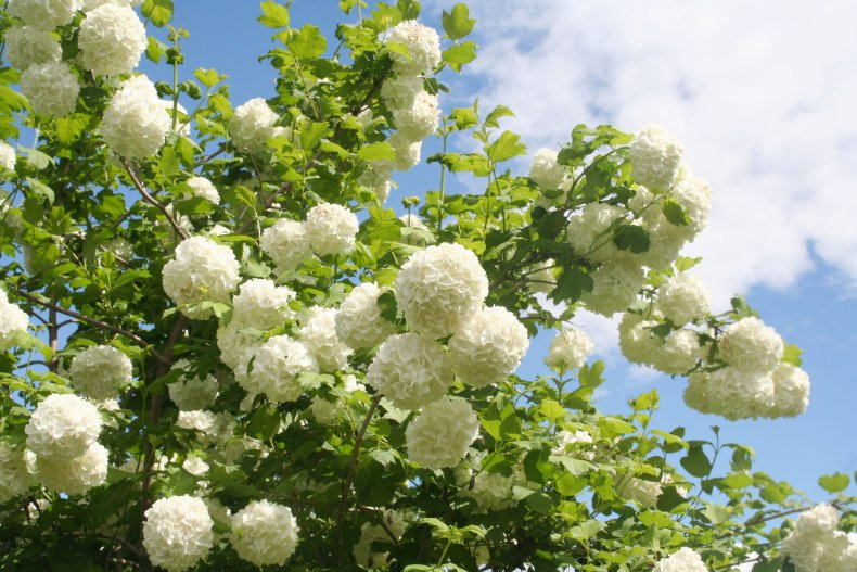 A Viburnum opulus plant with white flowers.