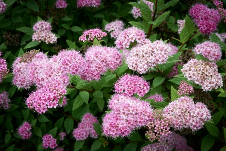 A Spiraea japonica plant with pink flowers.
