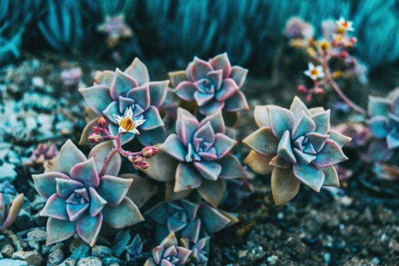 Ghost plant (Graptopetalum paraguayense) flowers.