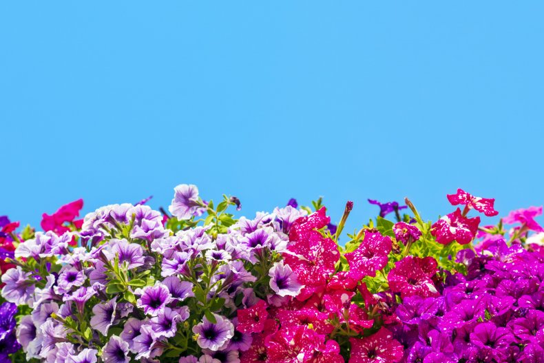 Colorful petunia flowers against a blue sky.