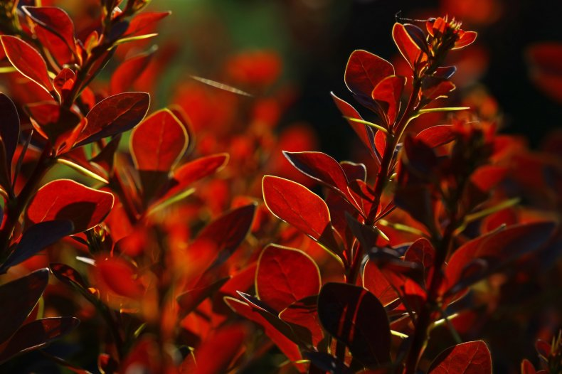 A close up of berberis leaves.