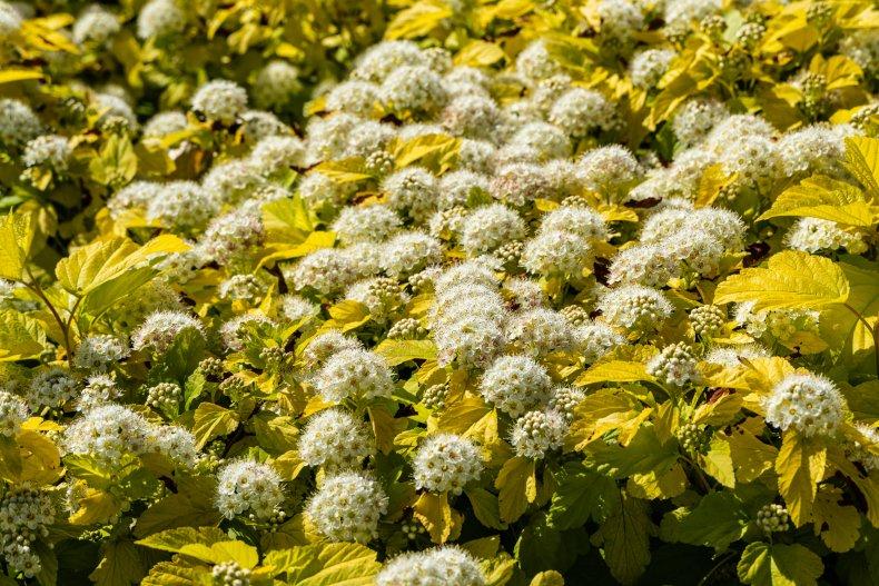 White flowers on bushes of Ninebark.
